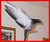 Children's stories and fairy tales from Baby Bird Productions. A photo of Lucky, the growing pigeon, flying in the apartment.